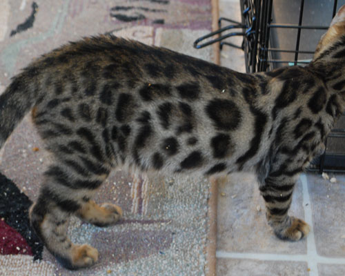 brown spotted bengal boy